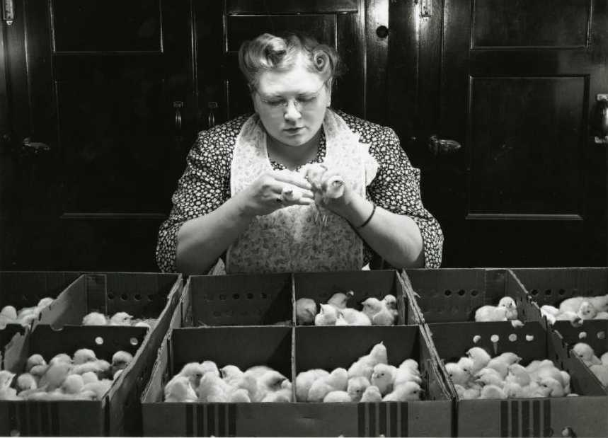 Professional chick sexor at work, 1947. Via the Joe Munroe Collection on Ohio Memory