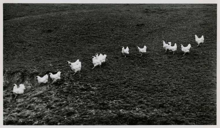 "Roaming hens following a ""boss hen,"" 1948. From the Joe Munroe Collection via Ohio Memory"