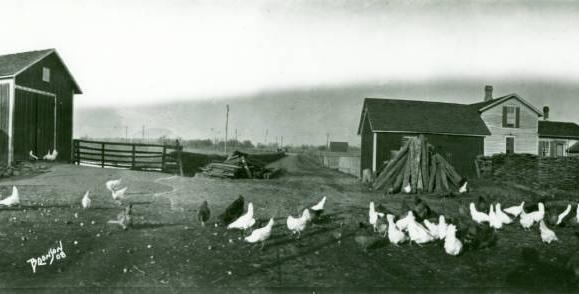Chickens on a farm photographed by Edward Bronson, 1908. Courtesy of the Defiance Public Library via Ohio Memory.