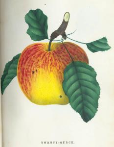 """Twenty-Ounce Apple"" botanical illustration, via Ohio Memory."