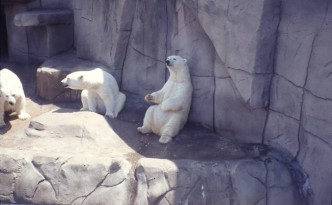 These polar bears at the Toledo Zoo hope you'll vote for the founding of the Toledo Zoological Gardens in 1900. Via Ohio Memory.