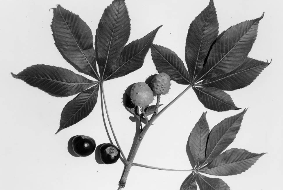 Leaves and fruit of the Buckeye tree (Aesculus glabra), designated as Ohio's state tree in 1953. Via Ohio Memory.