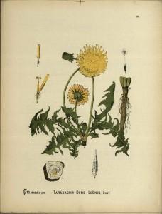 Taraxacum dens leonis, or dandelion.