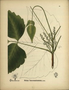 Rhus toxicodendron, or poison ivy.