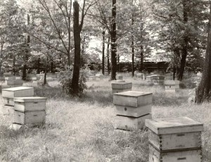 Field of beehives owned by the A.I. Root Company, via Ohio Memory.